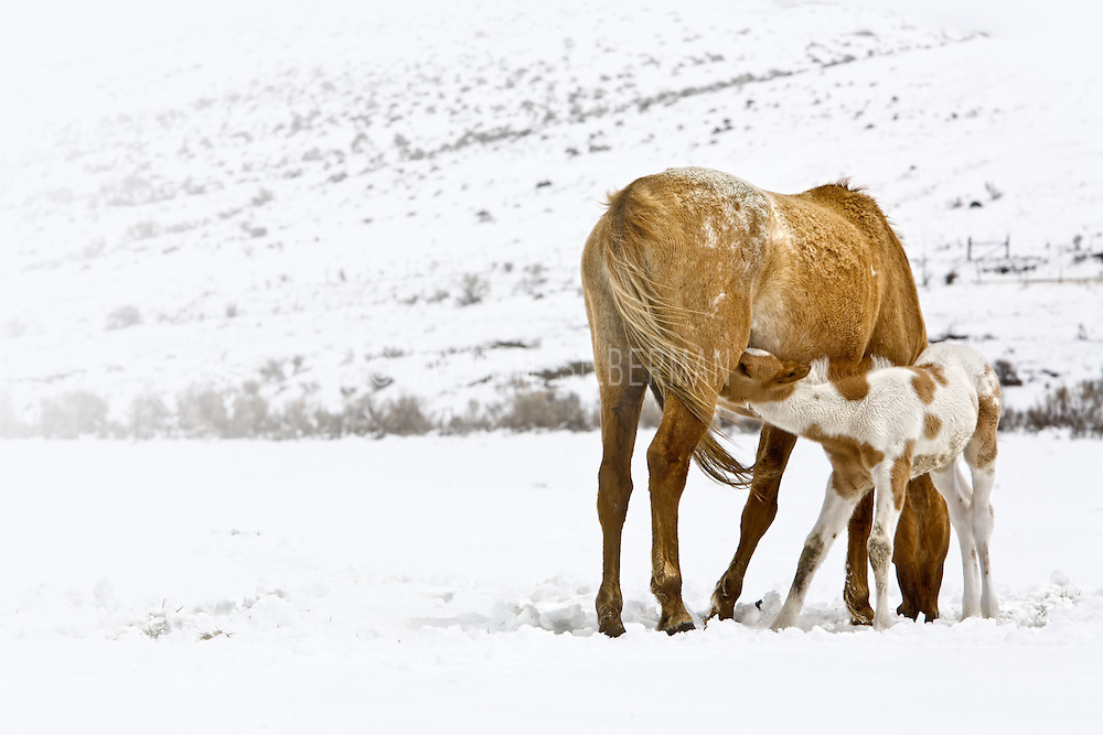 Early Spring foal nursing.