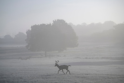 © Licensed to London News Pictures. 28/10/2019. London, UK. A deer stag canters through a frost and mist covered landscape on a bright winter morning in Richmond Park, London. The UK is due to see brighter weather over the next few days, following days of heavy rain which caused flooding in parts. Photo credit: Ben Cawthra/LNP