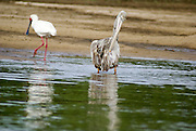 Tanzania wildlife safari wading birds: African Spoonbill (Platalea alba) and a Pink-backed Pelican (Pelecanus rufescens)