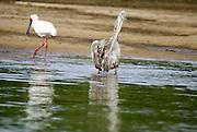 Tanzania wildlife safari wading birds: African Spoonbill (Platalea alba) and a Pink-backed Pelican (Pelecanus rufescens)