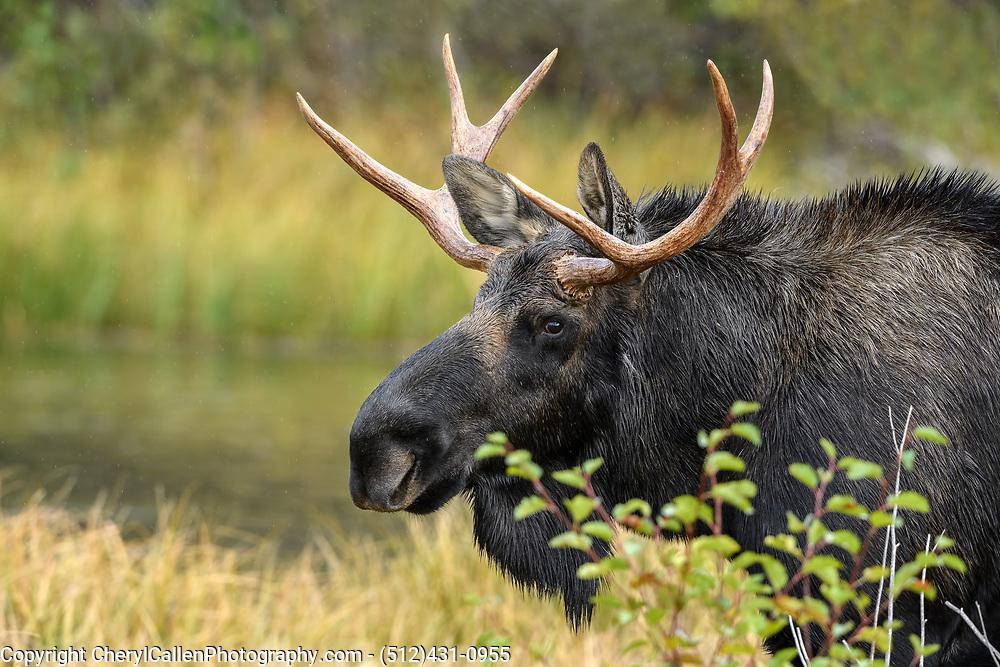 Young bull Moose at Sprague lake