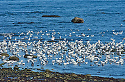 Snow geese (Anser caerulescens) in the Saint-Lawrence River<br />Saint-Ulric<br />Quebec<br />Canada