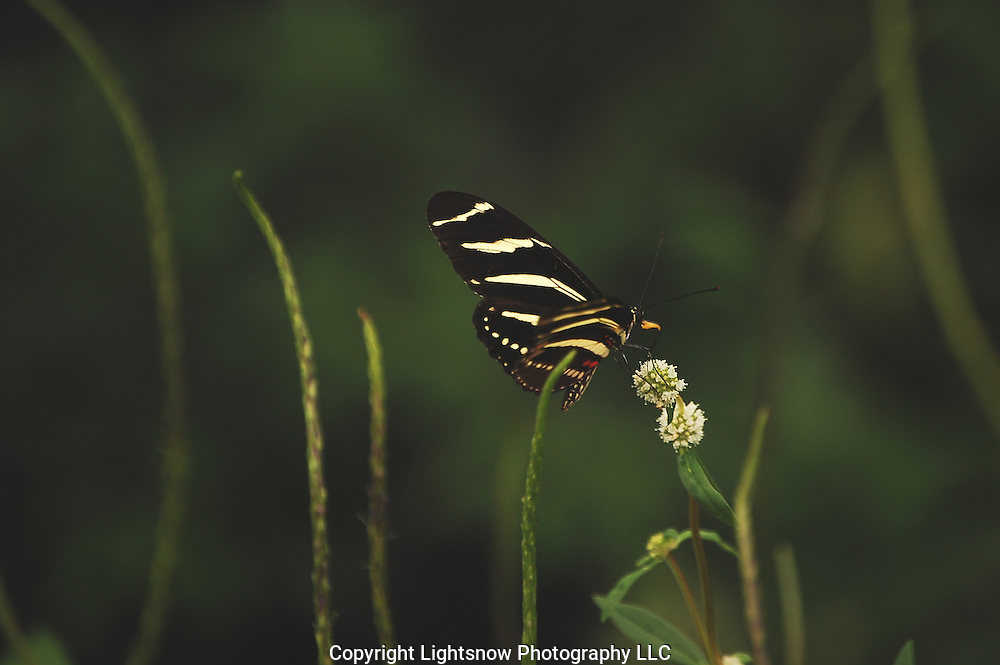 This is a photograph of a Zebra Longwing Butterfly.  Taken at Dagger Wing Nature Center in Boca Raton, Florida.