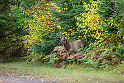Calf elk emerges from roadside vegetation in Ashland County, Wisconsin