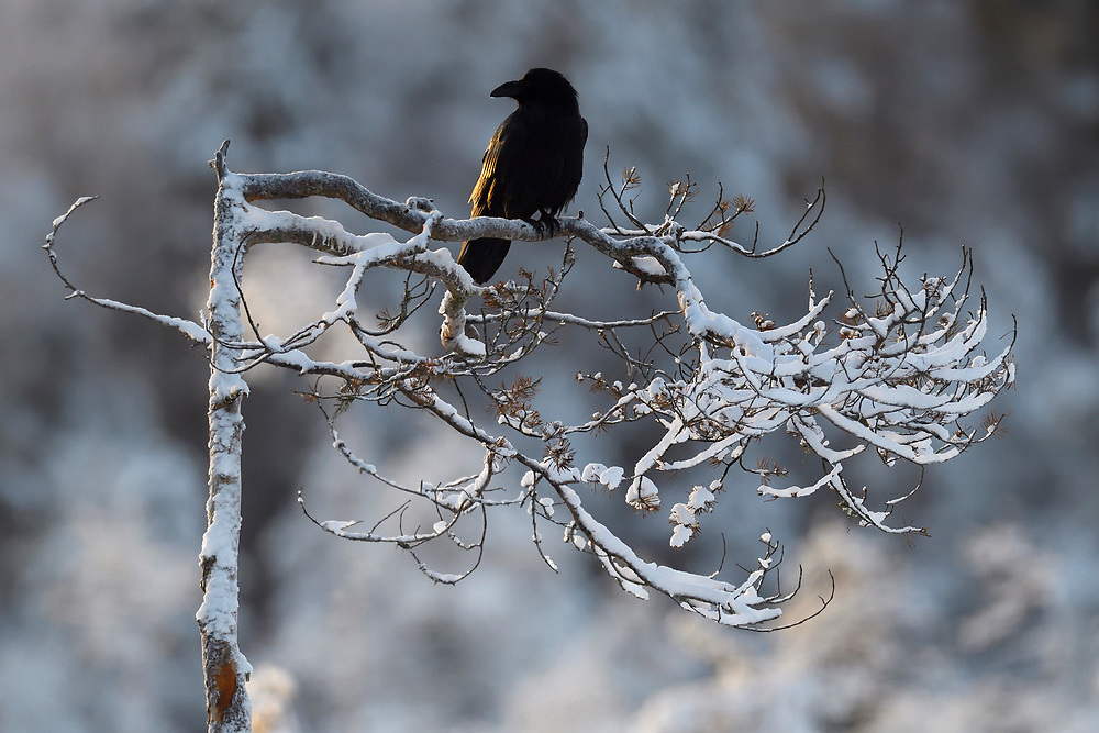 Eurasian Common Raven bird, Corvuz corax, sitting on a snow covered tree in Kalvtrask, Vasterbotten, Sweden