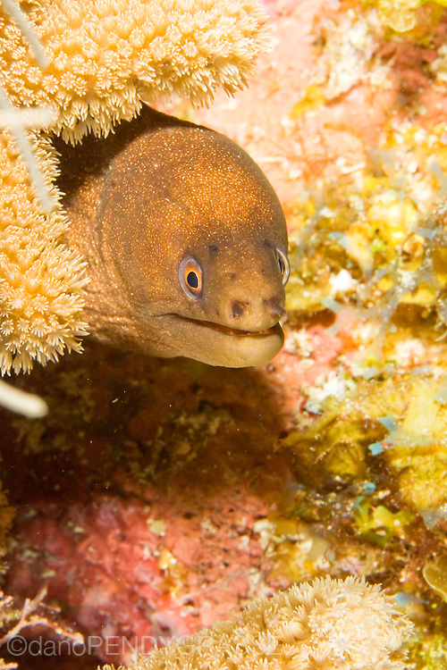 A goldentail moray eel in Belize