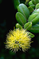 Yellow flower of ohia lehua (Metrosideros polymorpha)