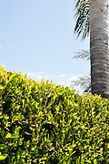 Vertical of palm tree and hedge with blue sky and copy space, Pacific Palisades, California