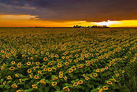 Sunflower fields, near Goodland, Western Kansas USA.