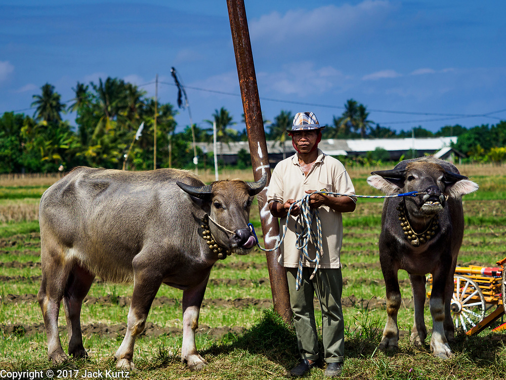 30 JULY 2017 - TUWED, JEMBRANA, BALI, INDONESIA: A man with his water buffalo after a makepung (buffalo race) in Tuwed, Jembrana in southwest Bali. Makepung is buffalo racing in the district of Jembrana, on the west end of Bali. The Makepung season starts in July and ends in November. A man sitting in a small cart drives a pair of buffalo bulls around a track cut through rice fields in the district. It's a popular local past time that draws spectators from across western Bali.    PHOTO BY JACK KURTZ