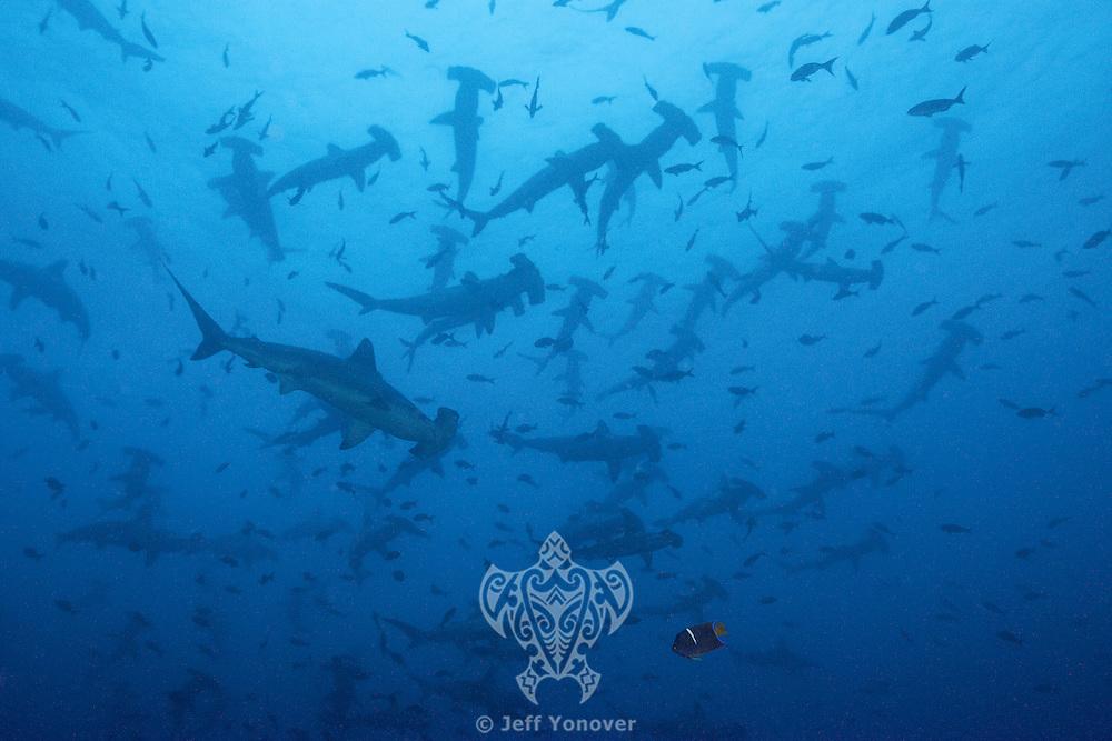 Schooling Scalloped Hammerhead Sharks<br /> <br /> <br /> Shot at Cocos Island, Costa Rica