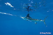 white marlin, Tetrapturus albidus, with reflection on surface, off Yucatan Peninsula, Mexico ( Caribbean Sea )
