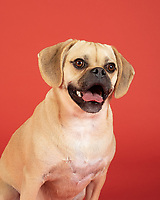 Portrait of young adorable puggle