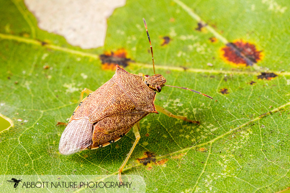 Spined Soldier Bug (Podisus maculiventris)<br /> United States: Alabama: Tuscaloosa Co.<br /> Tulip Tree Springs off Echola Rd.; Elrod<br /> 8-Oct-2016<br /> J.C. Abbott #2873