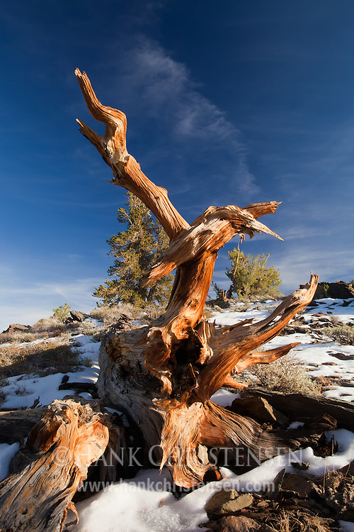 The gnarled root of a bristlecone pine reflects the setting sun, White Mountains, CA
