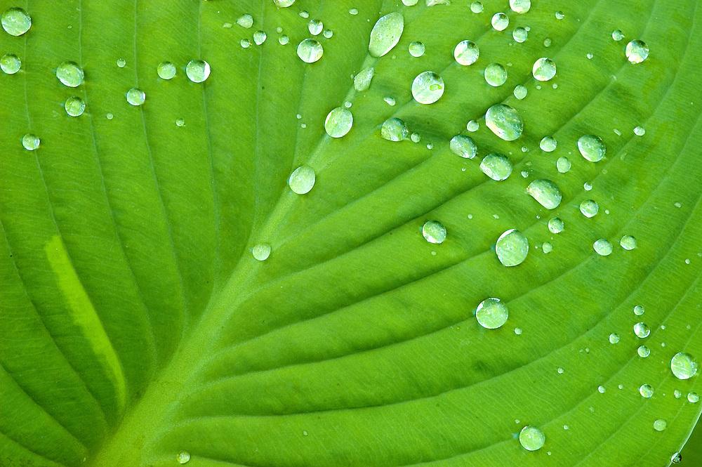 Droplets on Hosta Leaf