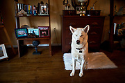Elvis Gamble, a 3-year-old Siberian Husky, spends much of his time outdoors. Fortunate for him, his owner, Laura Gamble, works from home.<br /> <br /> Gamble adopted Elvis in 2009 from the Baltimore County Humane Society, who had rescued him from a kill shelter in Tennessee. (Hence his name Elvis, whom Gamble always pictured as wearing a fancy white suit.)