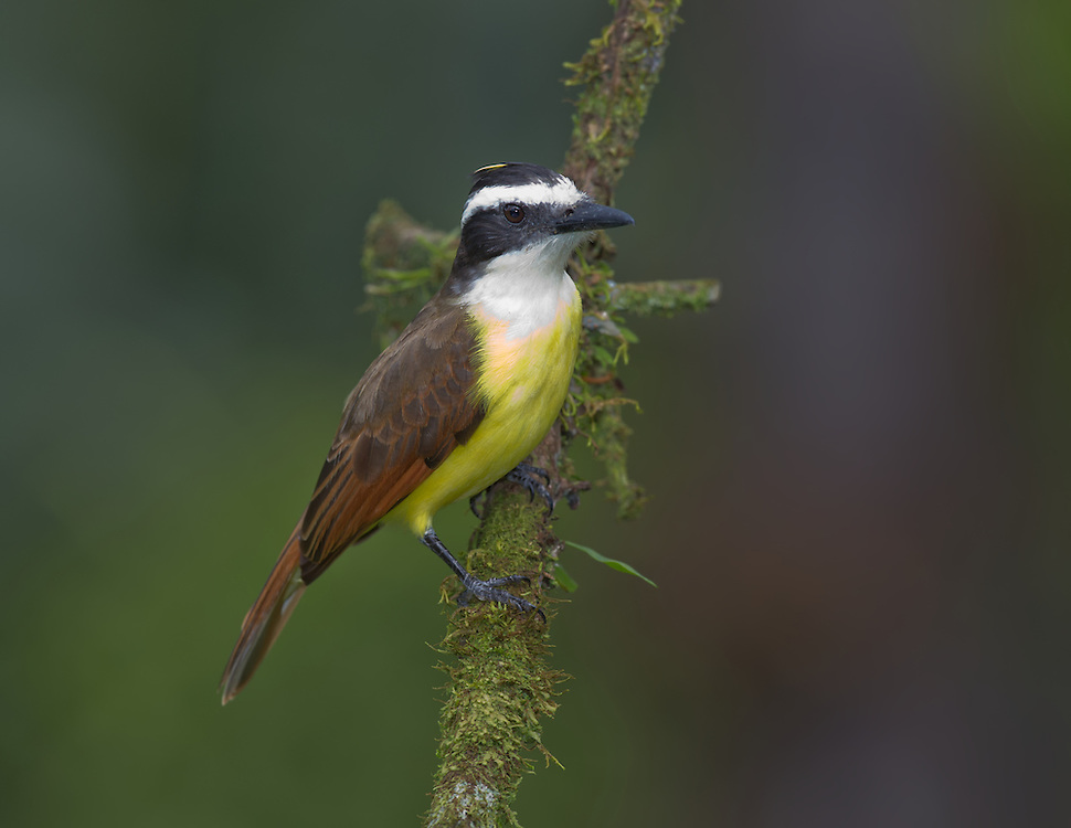 Great Kiskadee (Pitangus sulphuratus) perched on a branch, Costa Rica