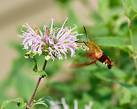 Clearwing Hummingbird Moth on a Wild Bergamot (Monarda fistulosa) Flower. Image taken with a Nikon D5 camera and 70-200 mm f/2.8 lens.