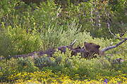 Grizzly Bear #399 Nursing her three young Cubs in Grand Teton National Park