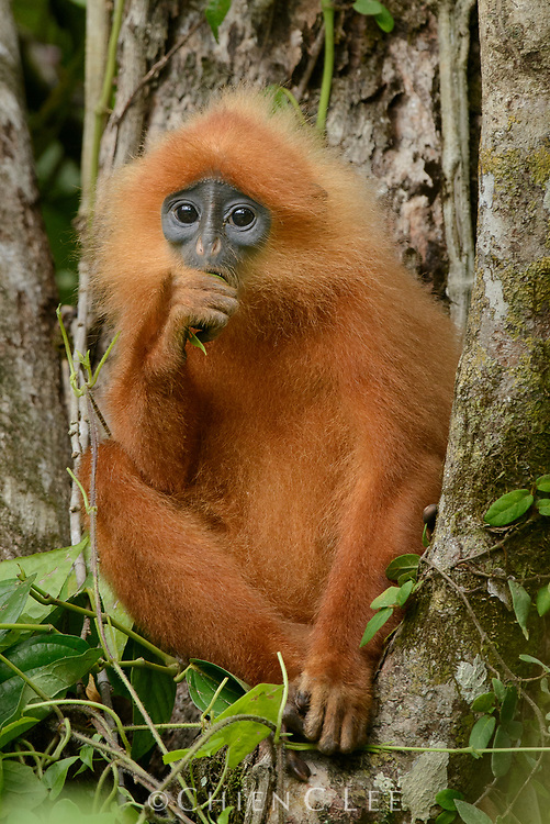 The Maroon Langur (Presbytis rubicunda) is endemic to Borneo and nearby Karimata Island, with several subspecies occurring throughout its range. Like other leaf monkeys they are almost completely arboreal and feed on foliage, seeds, and some fruits. Sabah, Malaysia.