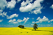 trees, canola fields and cumulus clouds<br /> Rathwell<br /> Manitoba<br /> Canada