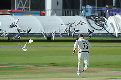 Alviro Petersen gives chase to the ball as pigeons fly away - Photo mandatory by-line: Dougie Allward/JMP - Mobile: 07966 386802 - 07/06/2015 - SPORT - Football - Bristol - County Ground - Gloucestershire Cricket v Lancashire Cricket - LV= County Championship