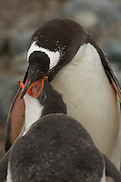 A Gentoo Penguin (Pygoscelis papua) feeding its young.  Jougla Point, Wieneke Island.