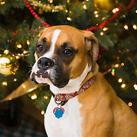 Boxer dog by christmas tree, portrait
