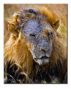 Muddy Lion. Maasai Mara, Kenya.  Nikon D700, 200-400mm + TC17 @ 650mm, f6.7, 1/400sec, ISO400, Manual madus