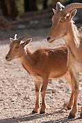 Barbary Sheep, mother and lamb, (Ammotragus lervia)