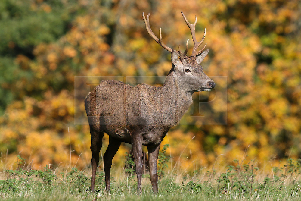 © Licensed to London News Pictures. 17/10/2016. Ripon, UK. A red deer stag on a autumnal day at Fountains Abbey, near Ripon in North Yorkshire. Photo credit : Ian Hinchliffe/LNP