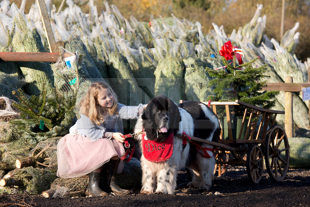 "© Licensed to London News Pictures. 1/12/2013. Market Bosworth, Leicestershire, UK.  Pictured, Milly Pardoe (9) pats ""Dice"" one of the Newfoundland dogs helping carry the felled trees from the fields. The Frizeland Christmas Tree Centre, Market Bosworth, is one of the largest providers of Christmas trees in the country. This year they planted forty thousand new trees to add to their total of over three hundred thousand. As well as supplying large wholesalers, they also offer a ""pick your own"" service for individuals. Some people choose their trees early in the year, mark it with a tie colar and then collect it nearer Christmas. This year has seen the tree nursery grow even larger than last year and is expecting bumper sales due to the recent good weather. Photo credit : Dave Warren/LNP"
