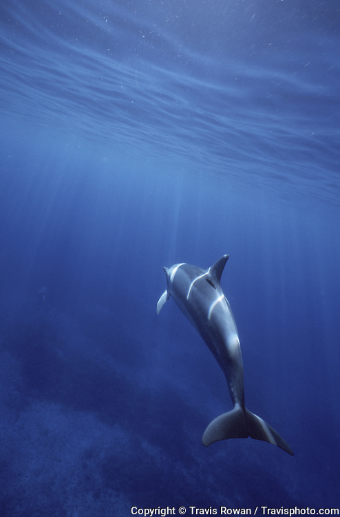 A single Hawaiian Spinner dolphin underwater.