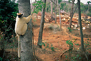 Golden crowned sifaka on edge of clear cut forest {Propithecus tattersalli} Madagascar