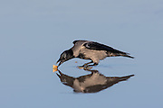 Crow eating food, with reflection in the sand | Kråke som spiser mat, med refleksjon ned i sanden.