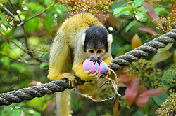 © Licensed to London News Pictures. 18/04/2019. LONDON, UK.  Colourful papier-mâché eggs filled with tasty treats are offered to black capped squirrel monkeys at ZSL London Zoo in the run up to Easter.   Photo credit: Stephen Chung/LNP