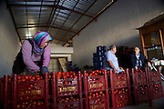 A lady sorts and grades crates of tomatoes, Fethiye, Turkey.