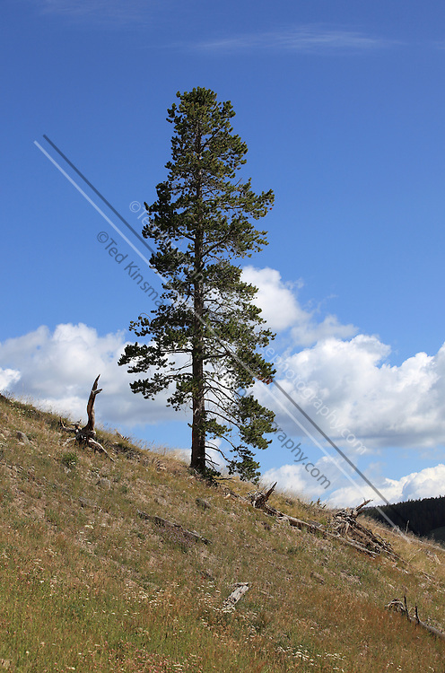 Lone pine tree in Yellowstone National Park, WY.