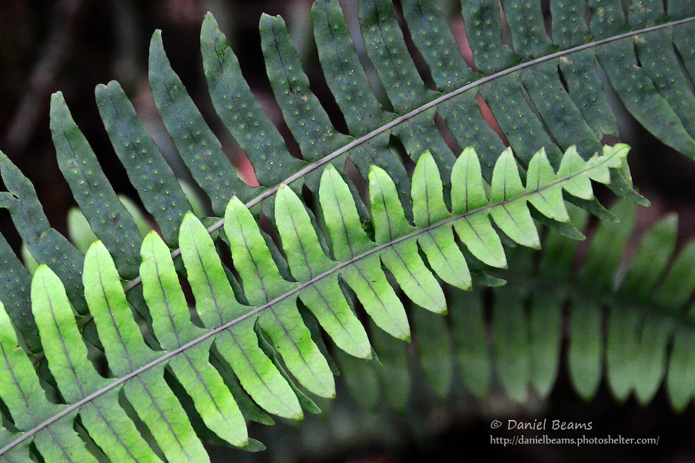 Fern detail in the Giant fern forest, La Yunga, Mairana, Santa Cruz, Bolivia