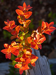 Evergreen Huckleberry (Vaccinium ovatum) leaves have turned red as an early autumn display on Washington State Department of Natural Resources land on the Kitsap Peninsula, WA