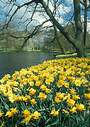 Daffodils at Keukenhof Spring Garden, Holland.