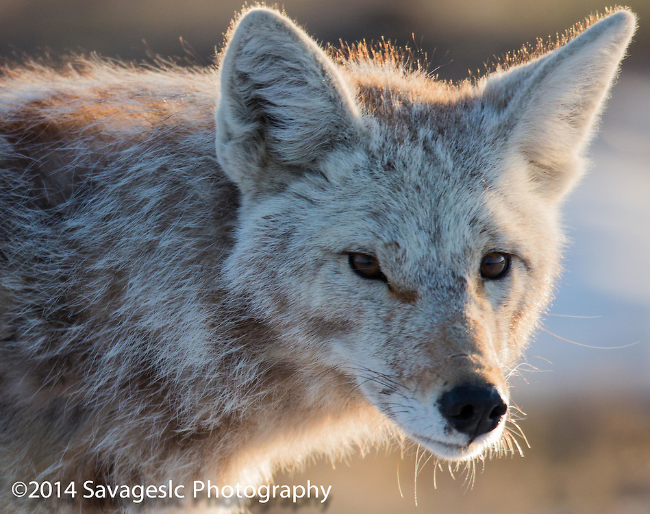 Coyote with a weird eye.