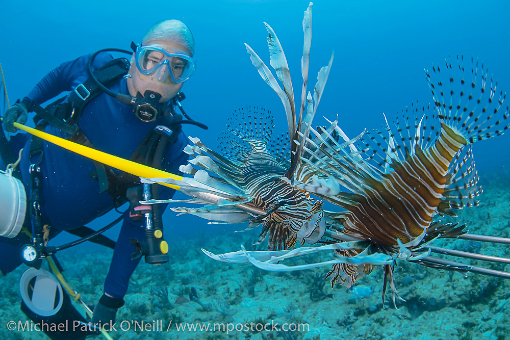 A scuba diver spears two invasive Lionfish, a species originally from the Indo-Pacific region, on a Florida Coral Reef,