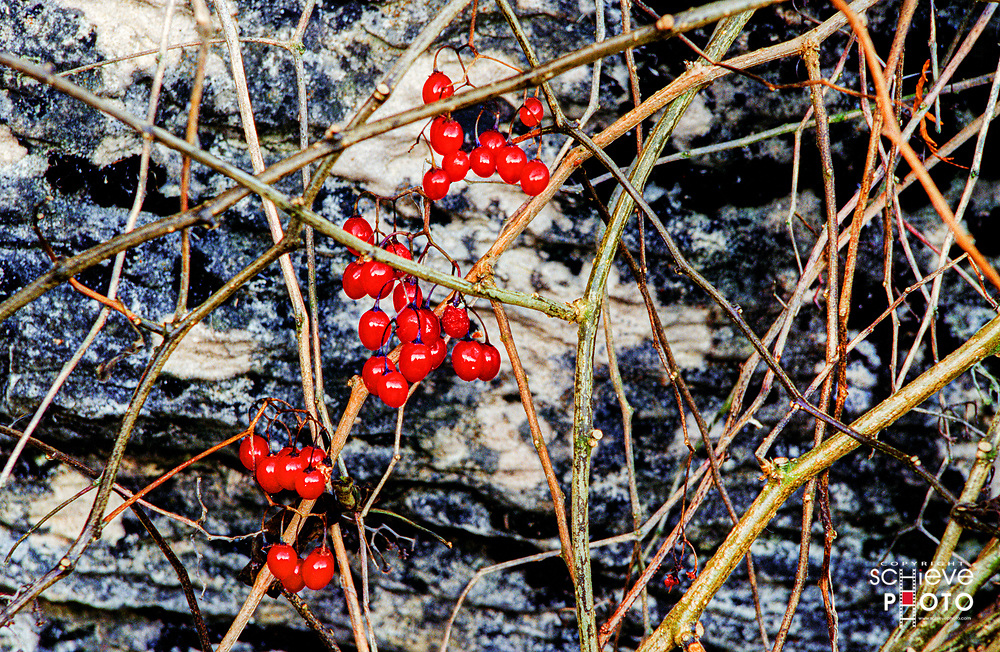 Red berries in front of a granite rock.