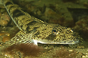 Flathead (Platycephalus bassensis) - Tasmania