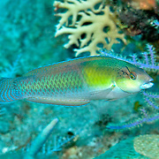 Yellowhead Wrasse consatantly swim about reefs in Tropical West Pacific; picture taken Grand Turk.