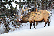 Photo Series of Bull Elk Accidentally Dumping Snow on Itself.