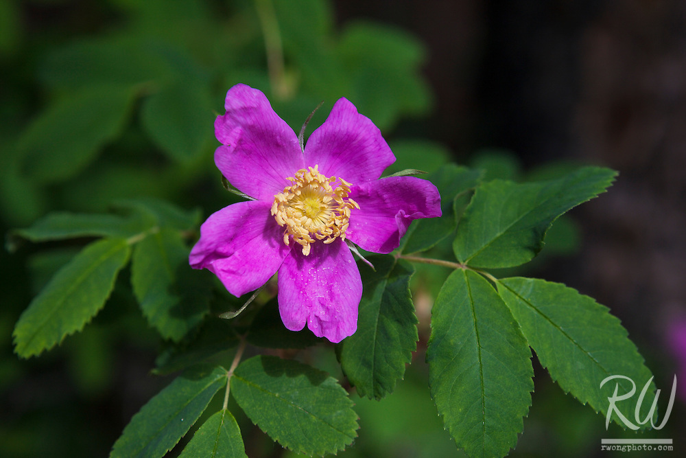 Canadian Wild Rose, Banff National Park, Alberta, Canada