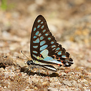 The Common Jay, Graphium doson evemonides.